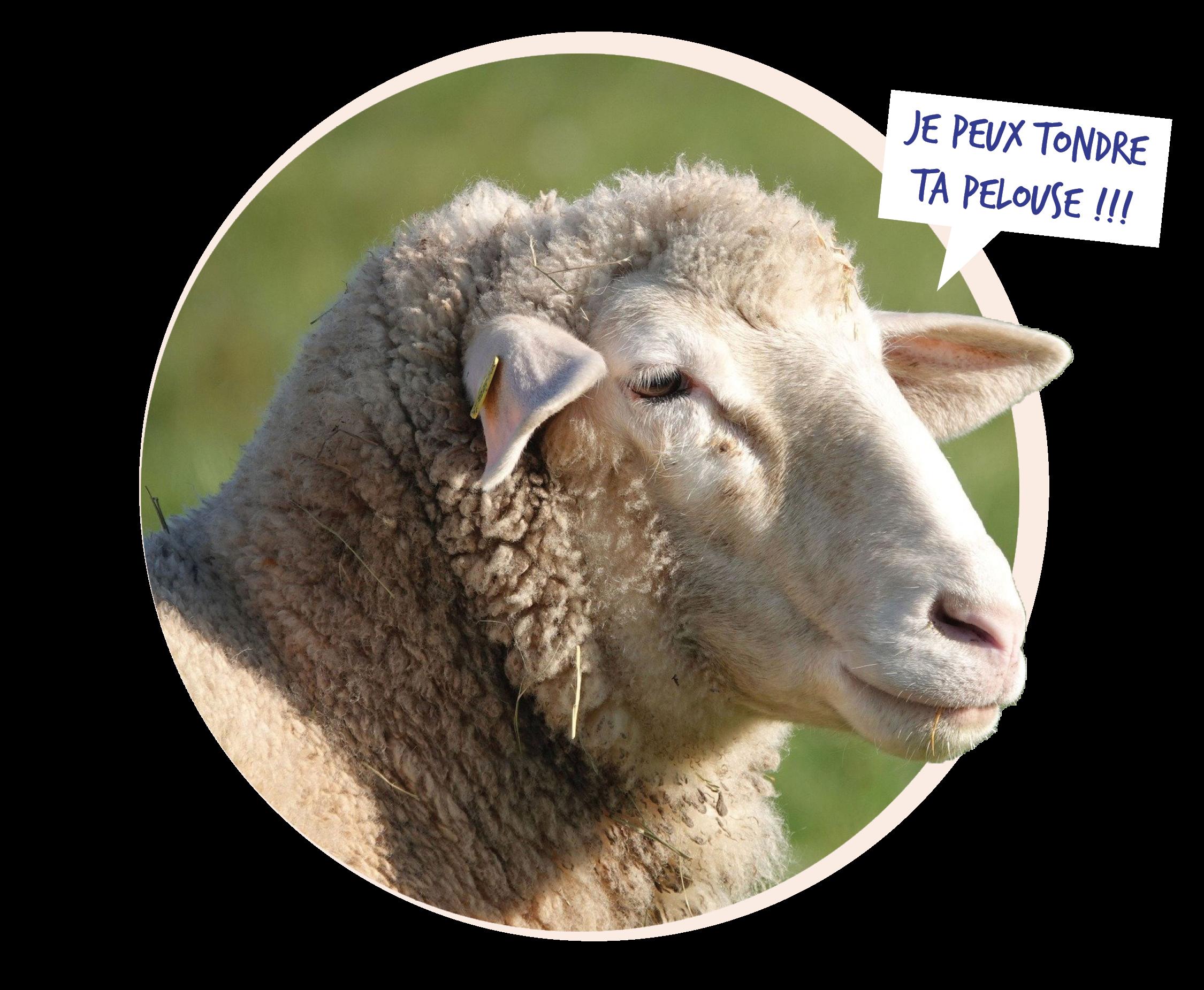 Photo d'un mouton