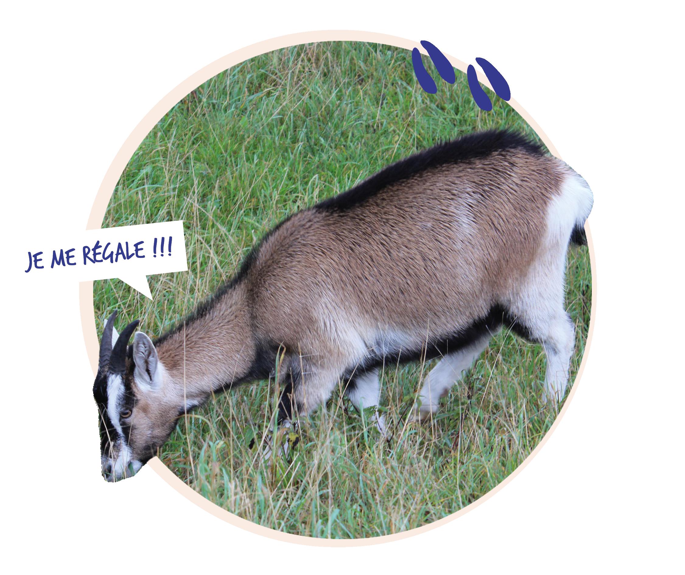 Photo d'une chèvre qui broute