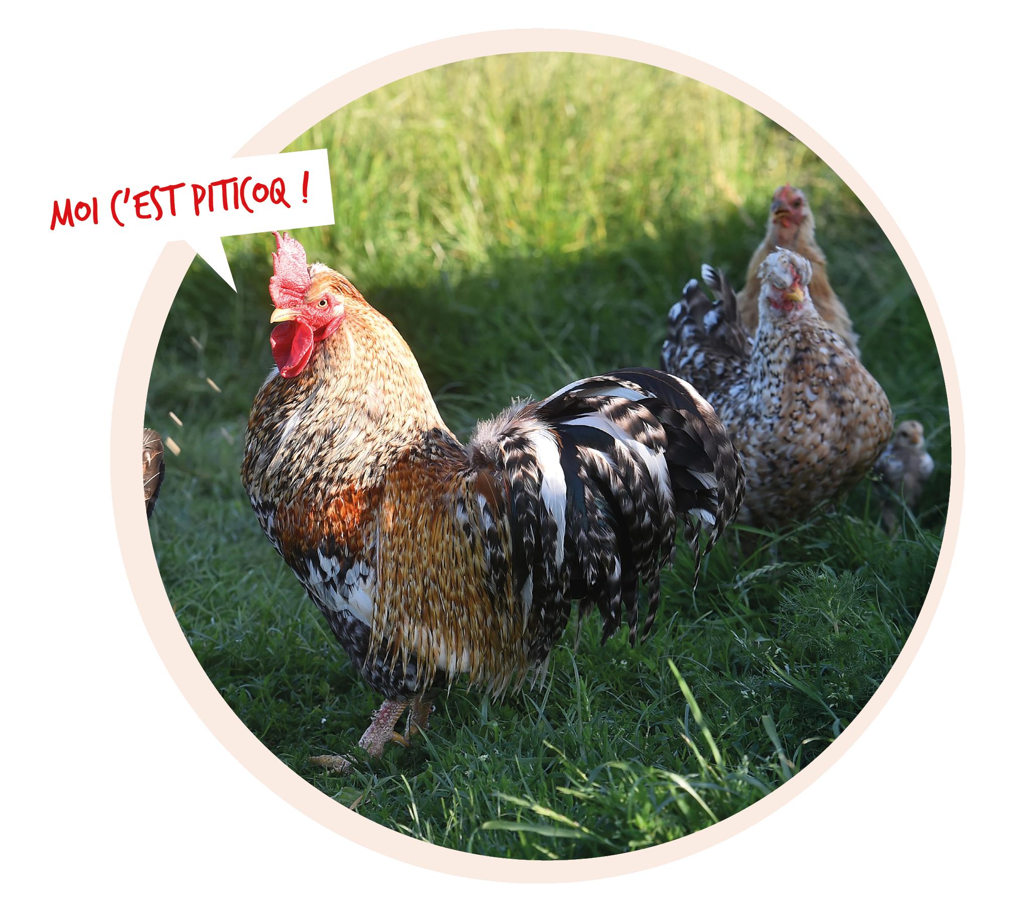 Photo d'un coq dans son enclos avec des poules