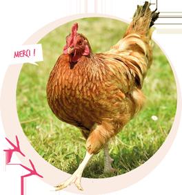 savoir_sur_la_poule_avant_adopter_2