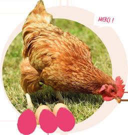 savoir_sur_la_poule_avant_adopter_3