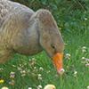 temoignage canard